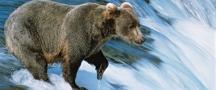 CEL_Alaska_Bear_600x250